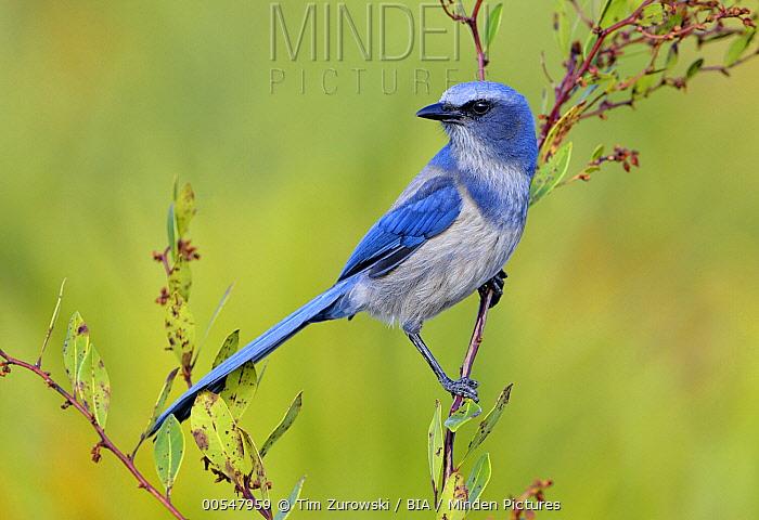 Florida Jay (Aphelocoma coerulescens), Florida  -  Tim Zurowski/ BIA
