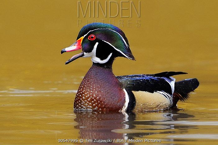 Wood Duck (Aix sponsa) male calling, British Columbia, Canada  -  Tim Zurowski/ BIA