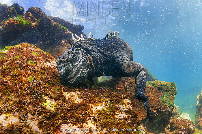 Marine Iguana (Amblyrhynchus cristatus) feeding on algae, Punta Espinosa, Fernandina Island, Galapagos Islands, Ecuador  -  Tui De Roy