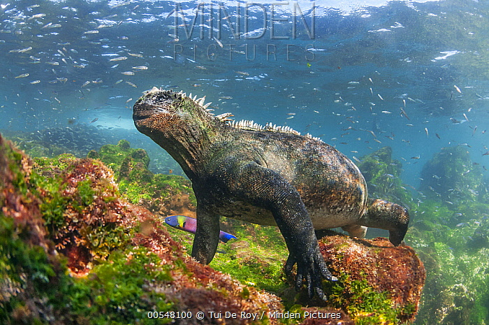 Marine Iguana (Amblyrhynchus cristatus) in water, Punta Espinosa, Fernandina Island, Galapagos Islands, Ecuador  -  Tui De Roy