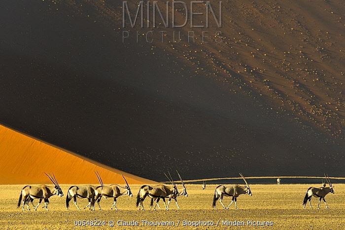 South African Oryx (Oryx gazella gazella) group in desert, Namib Desert, Namibia  -  Claude Thouvenin/ Biosphoto
