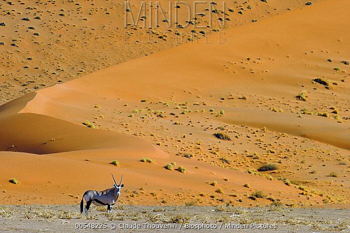 South African Oryx (Oryx gazella gazella) in desert, Namib Desert, Namibia  -  Claude Thouvenin/ Biosphoto