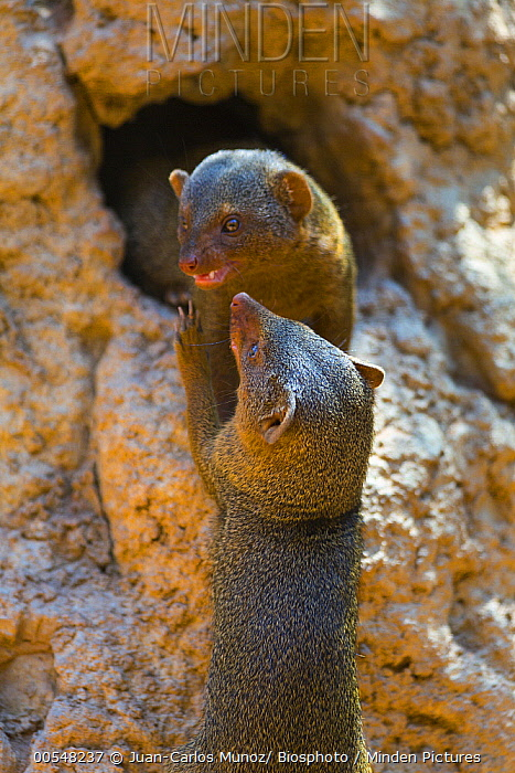 Dwarf Mongoose (Helogale parvula) pair play-fighting, Bioparc Valencia, Spain  -  Juan-Carlos Munoz/ Biosphoto