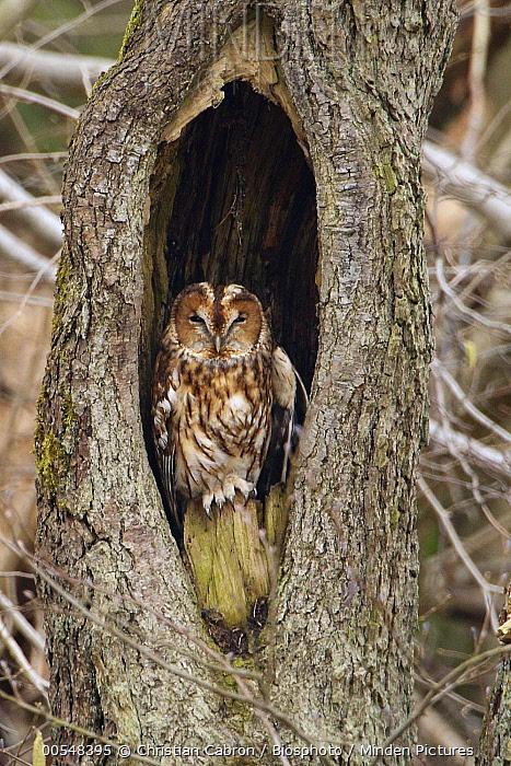 Tawny Owl (Strix aluco) in tree cavity, Ardennes, Belgium  -  Christian Cabron/ Biosphoto