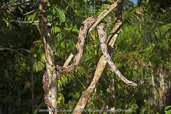 Boa Constrictor (Boa constrictor) in tree, Amazon, Brazil  -  Sylvain Cordier/ Biosphoto