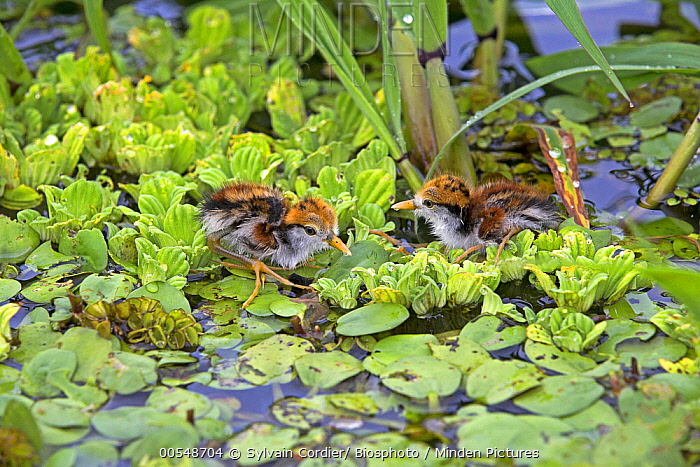 Wattled Jacana (Jacana jacana) chicks on Common Water Hyacinth (Eichhornia crassipes), Amazon, Brazil  -  Sylvain Cordier/ Biosphoto