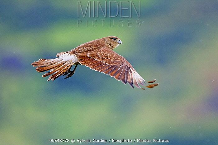 Chimango Caracara (Milvago chimango) flying, Torres Del Paine National Park, Chile  -  Sylvain Cordier/ Biosphoto