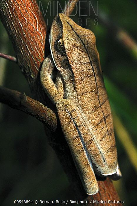 Many-banded Treefrog (Hyla multifasciata) mimicking a leaf, French Guiana  -  Bernard Bosc/ Biosphoto