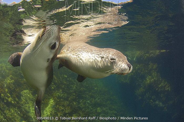 Australian Sea Lion (Neophoca cinerea) pair swimming, Kangaroo Island, Australia  -  Tobias Bernhard Raff/ Biosphoto