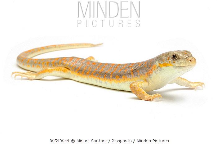 Schneider's Skink (Eumeces schneideri), France  -  Michel Gunther/ Biosphoto