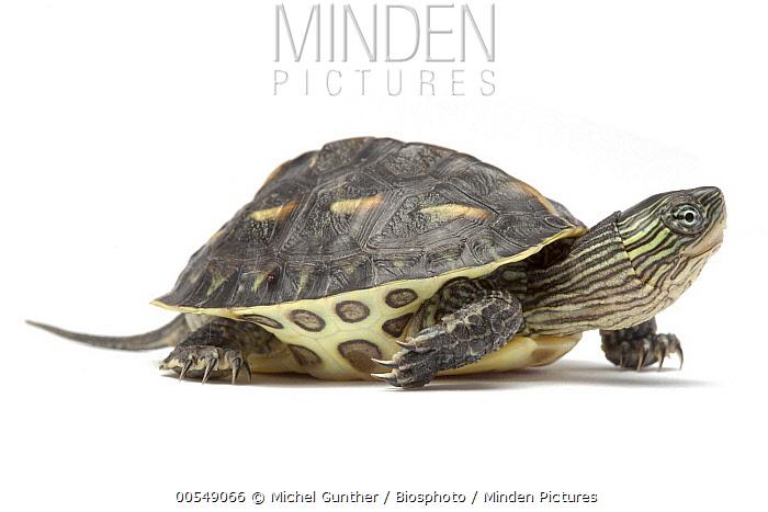 Chinese Stripe-necked Turtle (Ocadia sinensis), native to China, Taiwan and Vietnam  -  Michel Gunther/ Biosphoto