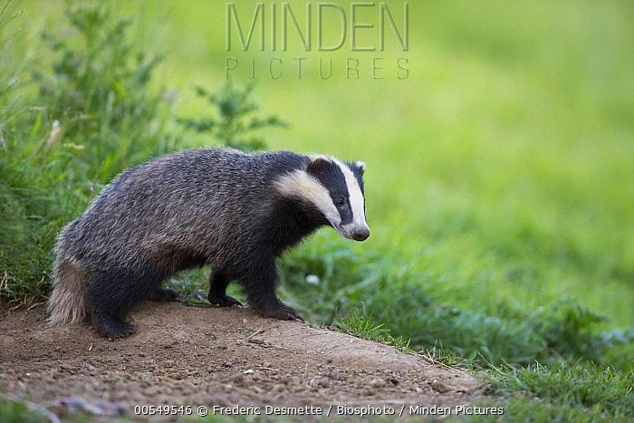 Eurasian Badger (Meles meles), United Kingdom  -  Frederic Desmette/ Biosphoto