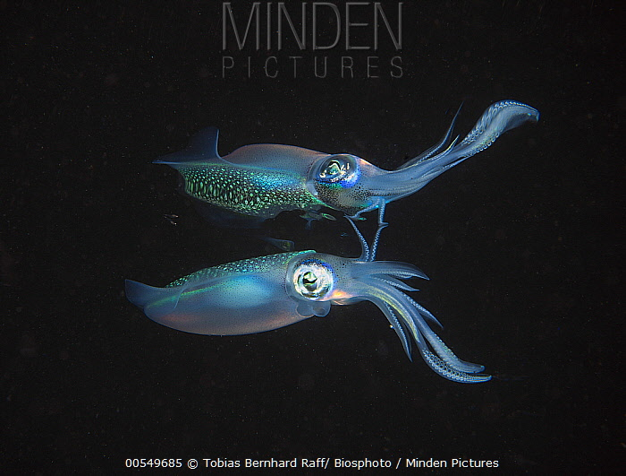 Caribbean Reef Squid (Sepioteuthis sepioidea) with reflection, Fiji  -  Tobias Bernhard Raff/ Biosphoto