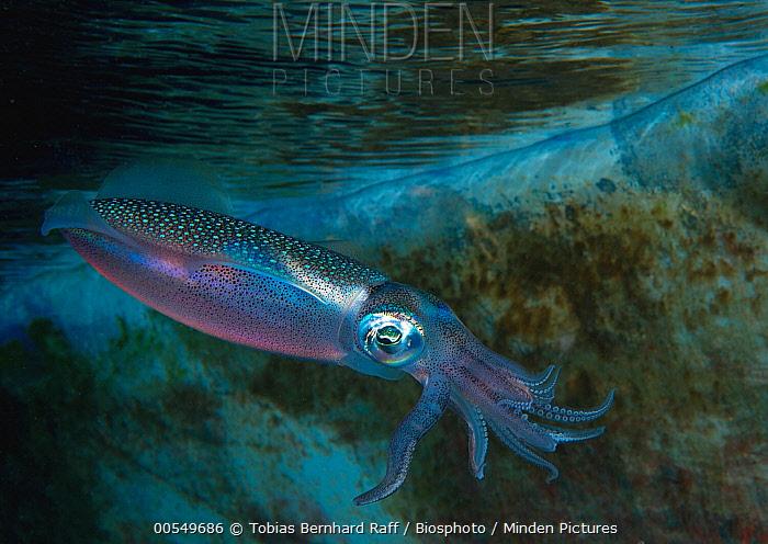 Caribbean Reef Squid (Sepioteuthis sepioidea) at night, Fiji  -  Tobias Bernhard Raff/ Biosphoto