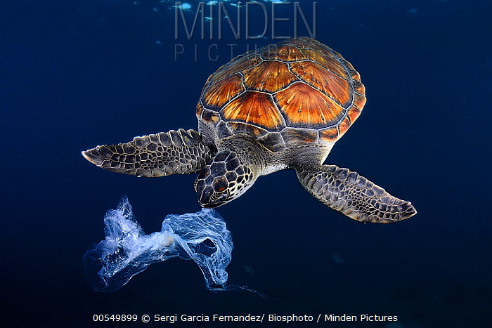 Green Sea Turtle (Chelonia mydas) trying to eat plastic bag, Tenerife, Canary Islands, Spain  -  Sergi Garcia Fernandez/ Biosphot