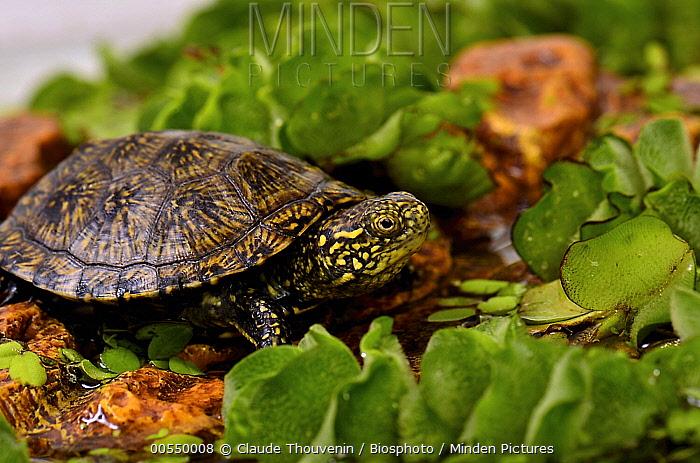 European Pond Turtle (Emys orbicularis) hatchling, France  -  Claude Thouvenin/ Biosphoto