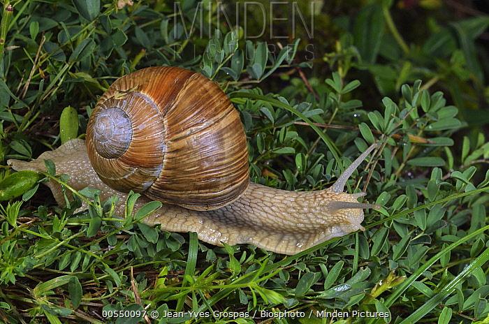 Edible Snail (Helix pomatia), Alps, France  -  Jean-Yves Grospas/ Biosphoto