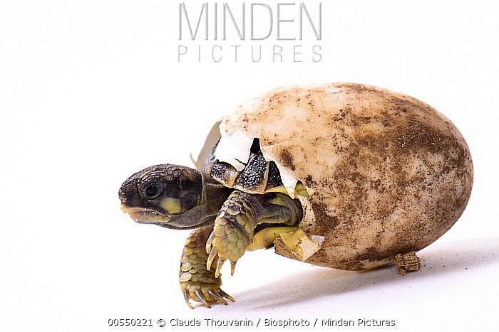 Hermann's Tortoise (Testudo hermanni) hatching, France  -  Claude Thouvenin/ Biosphoto