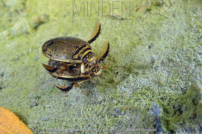 Water Beetle (Acilius sulcatus) pair mating, Fouzon, France  -  Bruno Guenard/ Biosphoto