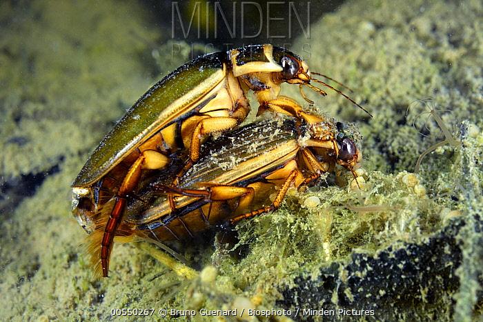 Great Diving Beetle (Dytiscus marginalis) pair mating, Fouzon, France  -  Bruno Guenard/ Biosphoto