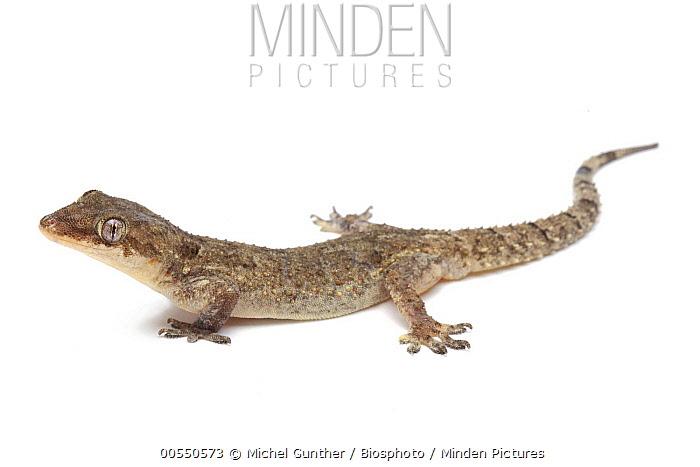 Brook's Gecko (Hemidactylus sp), France  -  Michel Gunther/ Biosphoto