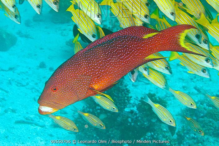 Bluestripe Snapper (Lutjanus kasmira) school and Coronation Grouper (Variola louti), Maldives  -  Leonardo Olmi/ Biosphoto