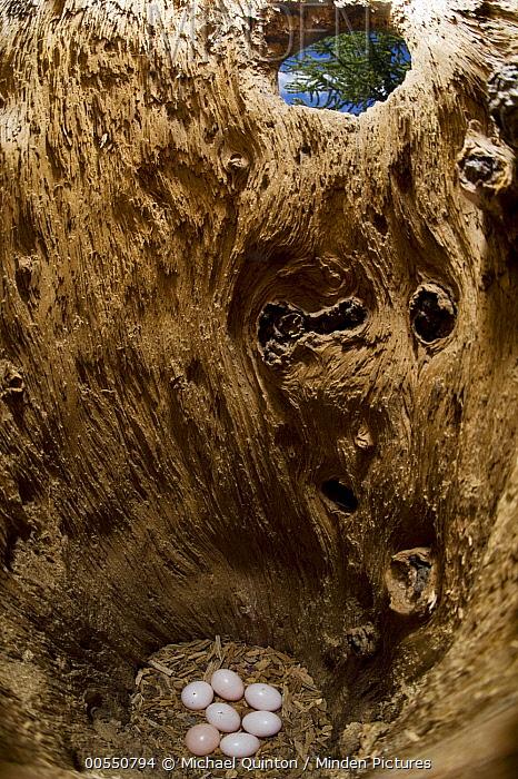 Northern Flicker (Colaptes auratus) eggs in nest cavity, Alaska  -  Michael Quinton