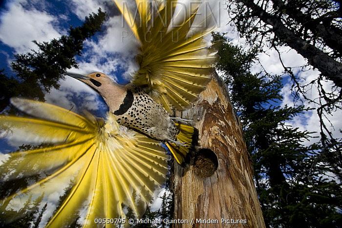 Northern Flicker (Colaptes auratus) leaving nest cavity in forest, Alaska  -  Michael Quinton