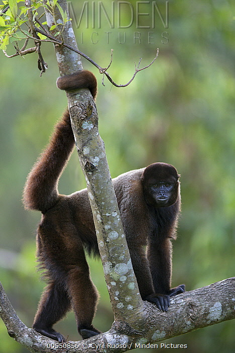 Humboldt's Woolly Monkey (Lagothrix lagotricha), Pacaya Samiria National Park, Peru  -  Cyril Ruoso