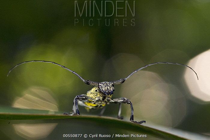 Longhorn Beetle (Cerambycidae), Pacaya Samiria National Park, Peru  -  Cyril Ruoso