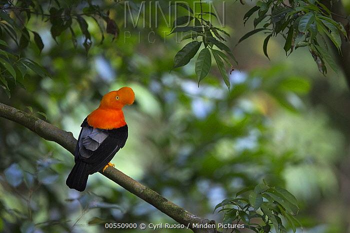Andean Cock-of-the-rock (Rupicola peruvianus) male, Amazon, Peru  -  Cyril Ruoso