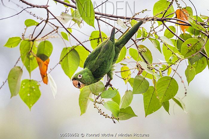 White-eyed Parakeet (Aratinga leucophthalmus) feeding on fruit, Panguana Nature Reserve, Peru  -  Konrad Wothe