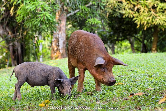 Domestic Pig (Sus scrofa domesticus) mother and piglet, Panguana Nature Reserve, Peru  -  Konrad Wothe