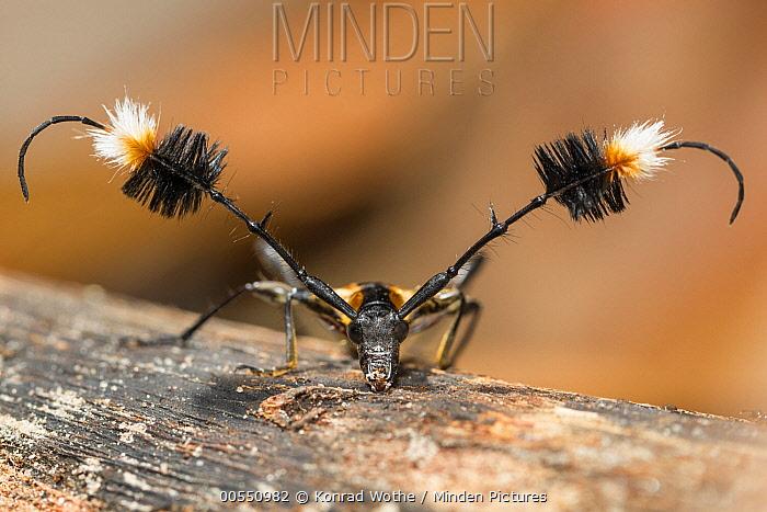 Longhorn Beetle (Cosmisoma ammiralis), Panguana Nature Reserve, Peru  -  Konrad Wothe