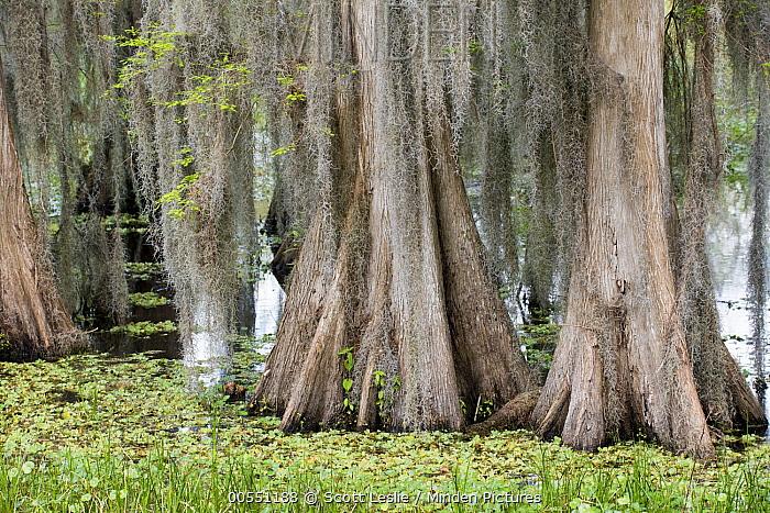 Bald Cypress (Taxodium distichum) trees in swamp, Florida  -  Scott Leslie