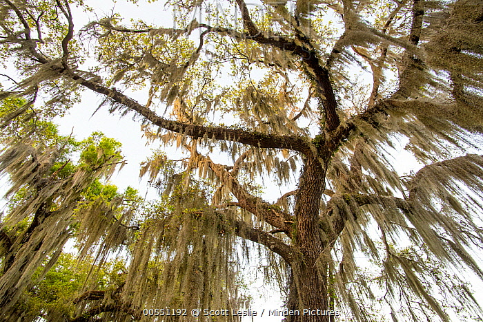 Southern Live Oak (Quercus virginiana) with Spanish Moss (Tillandsia usneoides), Florida  -  Scott Leslie
