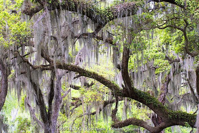 Southern Live Oak (Quercus virginiana) and Spanish Moss (Tillandsia usneoides), Florida  -  Scott Leslie
