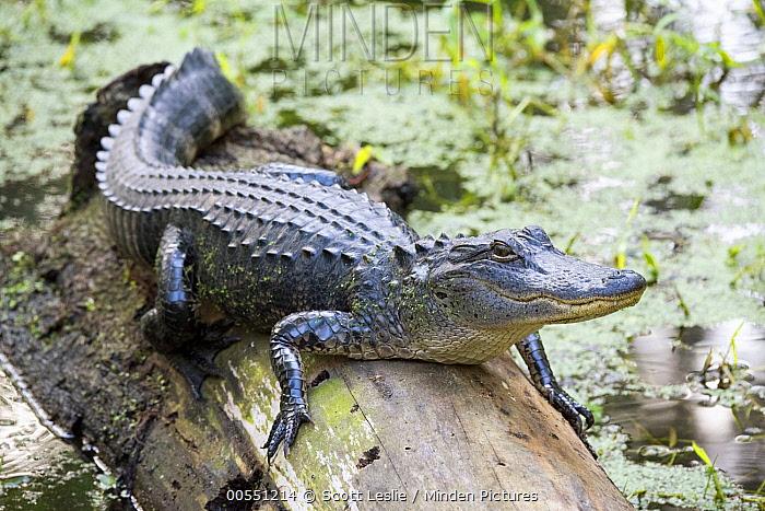 American Alligator (Alligator mississippiensis) juvenile, Florida  -  Scott Leslie
