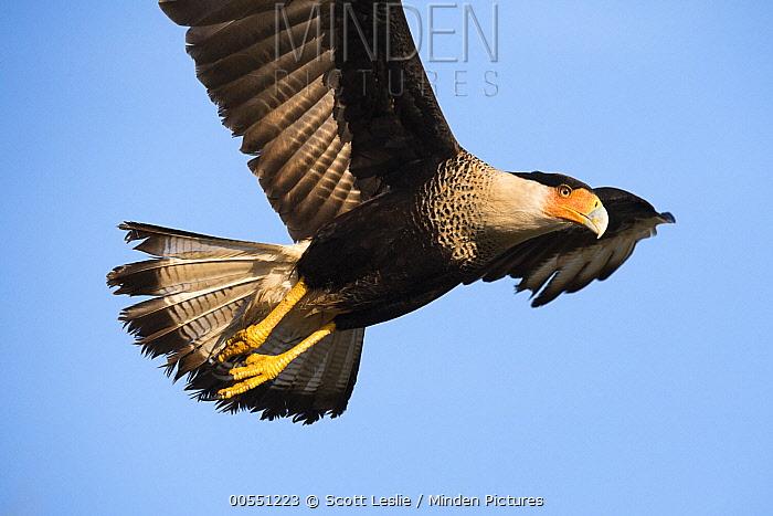 Southern Caracara (Caracara plancus) flying, Kissimmee Prairie Preserve State Park, Florida  -  Scott Leslie