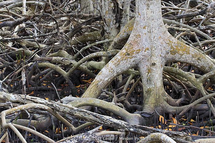 Red Mangrove (Rhizophora mangle) aerial roots and propagules, National Key Deer Refuge, Florida  -  Scott Leslie