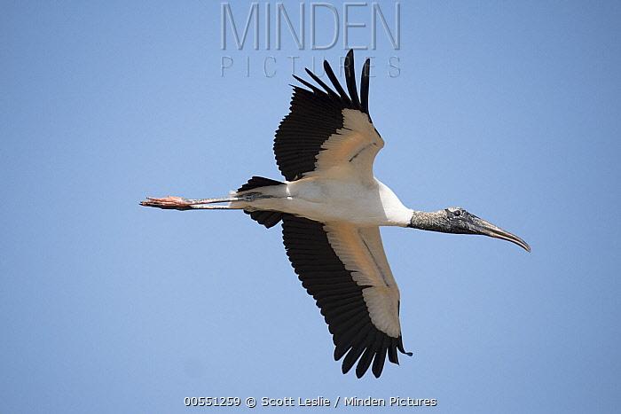 Wood Stork (Mycteria americana) flying, Everglades National Park, Florida  -  Scott Leslie