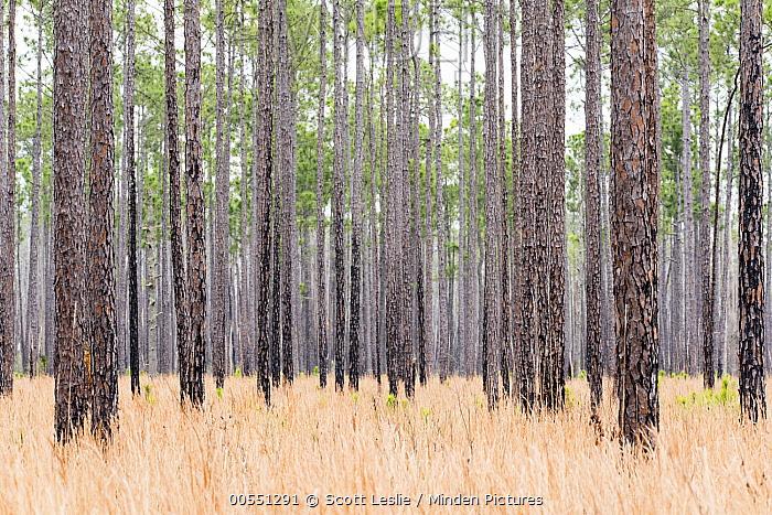 Longleaf Pine (Pinus palustris) forest, Okefenokee National Wildlife Refuge, Georgia  -  Scott Leslie