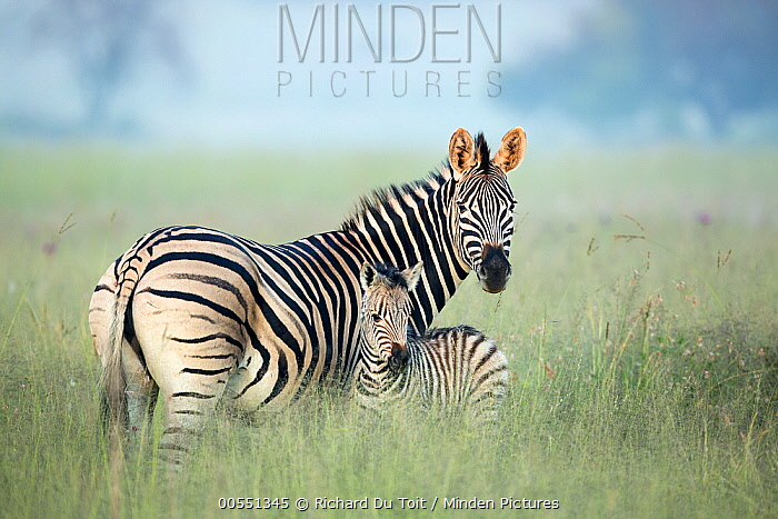 Burchell's Zebra (Equus burchellii) mother and foal in tall grass, Rietvlei Nature Reserve, South Africa  -  Richard Du Toit