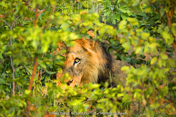 African Lion (Panthera leo) male in thick bush, Kruger National Park, South Africa  -  Richard Du Toit