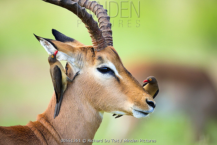 Impala (Aepyceros melampus) male with Red-billed Oxpecker (Buphagus erythrorhynchus) pair, Kruger National Park, South Africa  -  Richard Du Toit