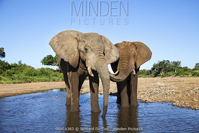 African Elephant (Loxodonta africana) bulls drinking, Shingwedzi River, Kruger National Park, South Africa  -  Richard Du Toit