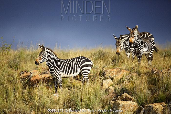 Mountain Zebra (Equus zebra) trio in savanna, Mountain Zebra National Park, South Africa  -  Richard Du Toit