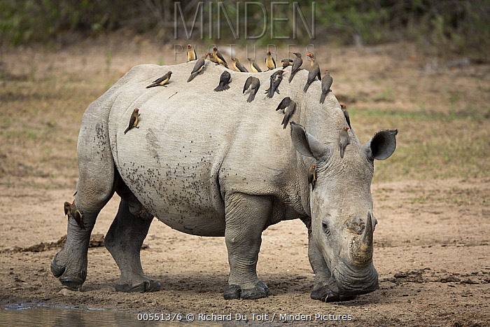 Red-billed Oxpecker (Buphagus erythrorhynchus) group on White Rhinoceros (Ceratotherium simum), Kruger National Park, South Africa  -  Richard Du Toit
