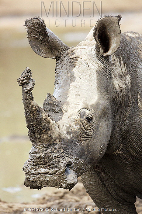 White Rhinoceros (Ceratotherium simum) covered with mud, Kruger National Park, South Africa  -  Richard Du Toit