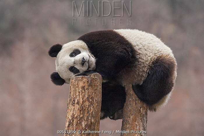 Giant Panda (Ailuropoda melanoleuca) eighteen month cub on tree stump, Wolong National Nature Reserve, Sichuan, China  -  Katherine Feng